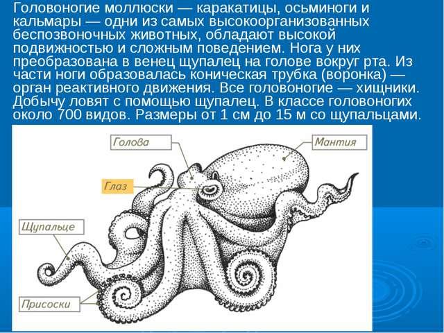 Головоногие моллюски — каракатицы, осьминоги и кальмары — одни из самых высок...
