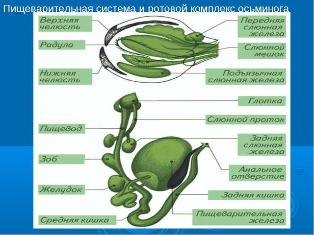 Пищеварительная система и ротовой комплекс осьминога