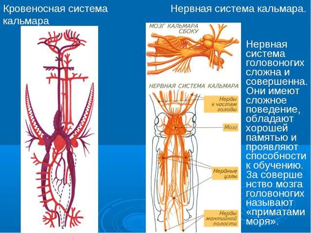 Кровеносная система кальмара Нервная система кальмара. Нервная система голово...