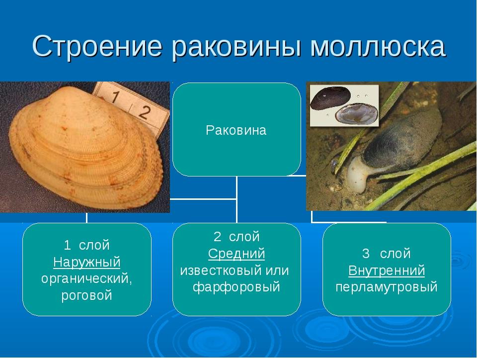 Строение раковины моллюска