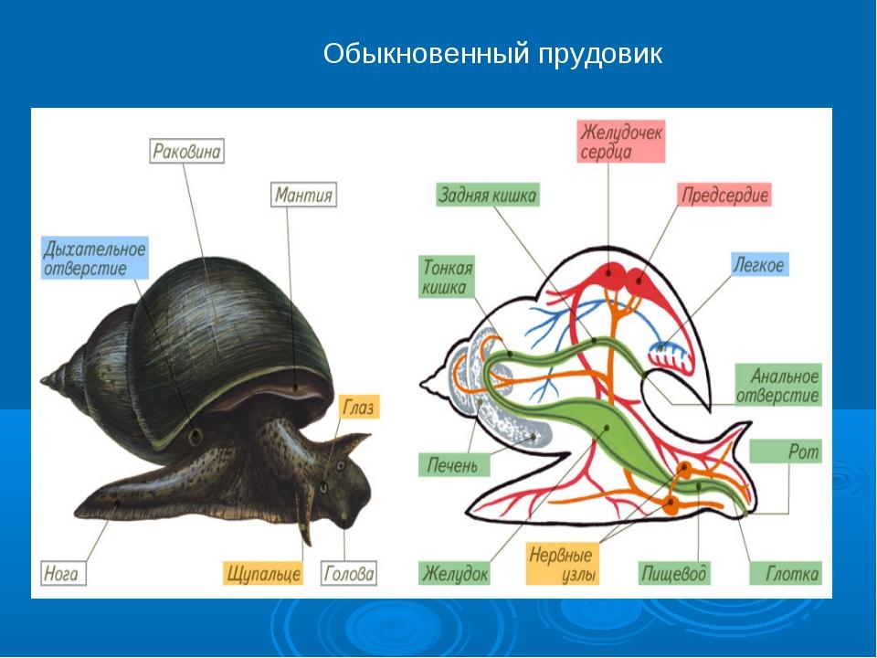 Обыкновенный прудовик