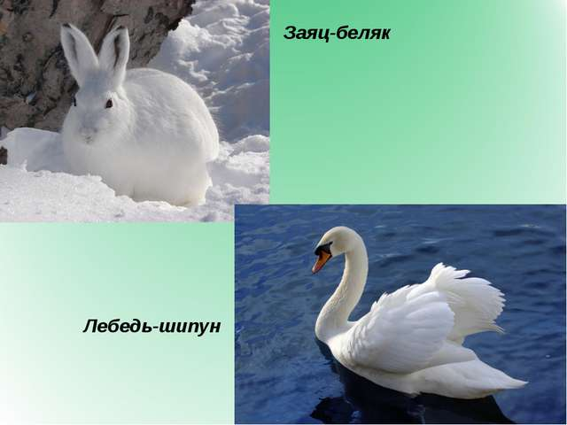 Заяц-беляк Лебедь-шипун