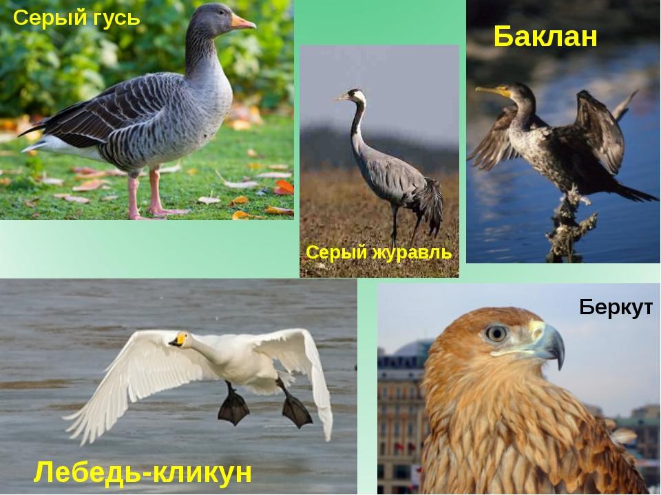 Серый гусь Серый журавль Беркут Лебедь-кликун Баклан