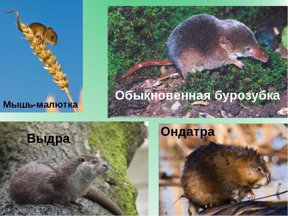 Обыкновенная бурозубка Мышь-малютка Выдра Ондатра