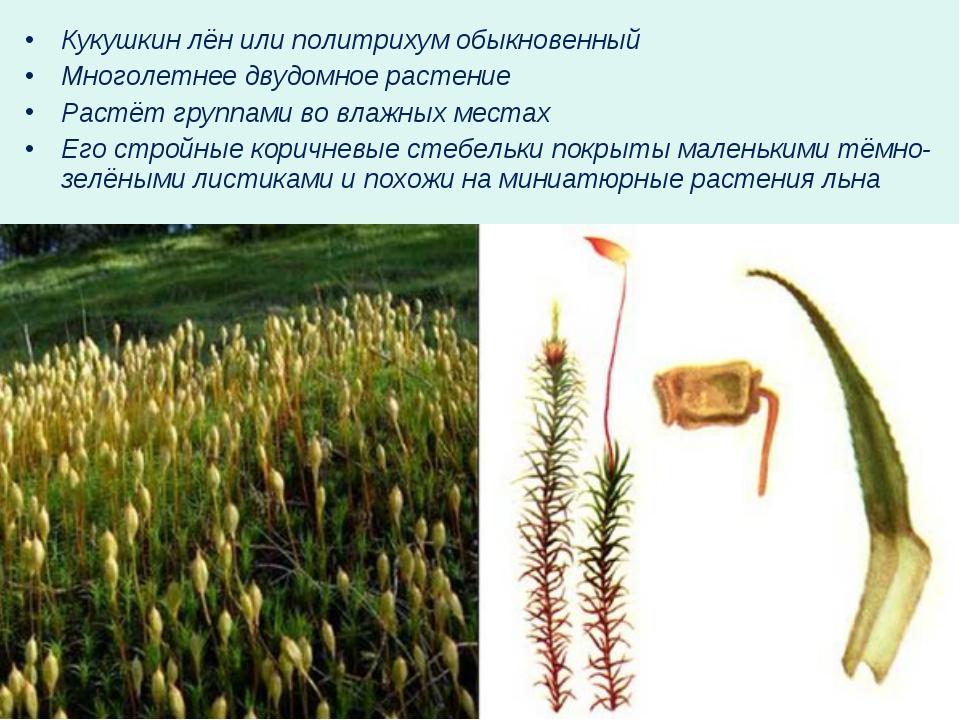Кукушкин лён или политрихум обыкновенный Многолетнее двудомное растение Растё...