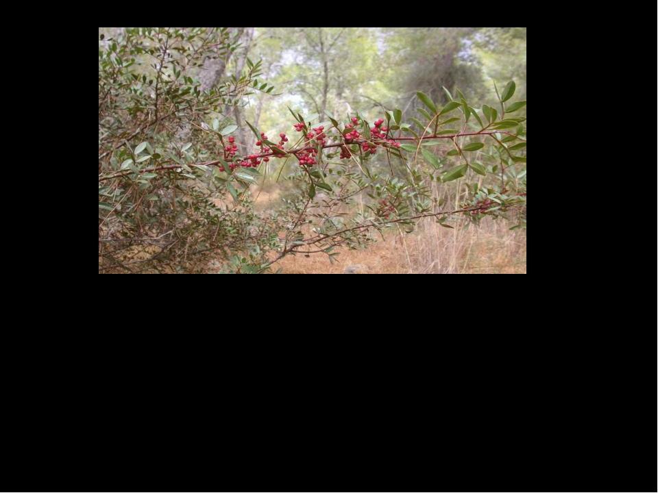 ягоды и фрукты раньше приобретают окраску зрелости (краснеют, желтеют) с южно...