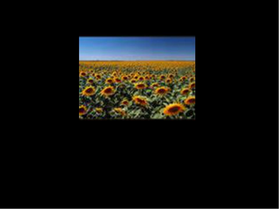 · цветы подсолнечника всегда поворачиваются за солнцем и никогда не смотрят н...