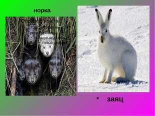 норка заяц