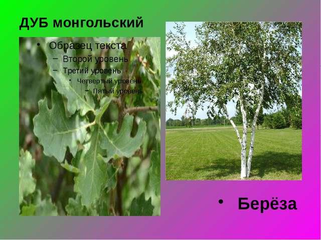 ДУБ монгольский Берёза