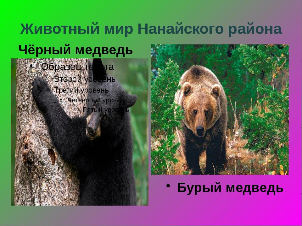 Животный мир Нанайского района Чёрный медведь Бурый медведь
