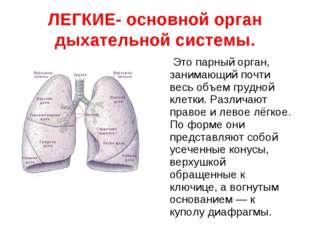 ЛЕГКИЕ- основной орган дыхательной системы. Это парный орган, занимающий почт