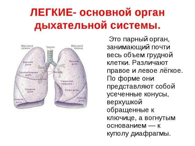 ЛЕГКИЕ- основной орган дыхательной системы. Это парный орган, занимающий почт...