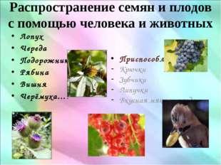 Распространение семян и плодов с помощью человека и животных Лопух Череда Под