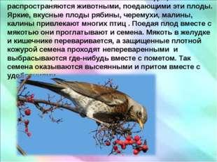 . Семена, заключенные в сочных плодах, распространяются животными, поедающим
