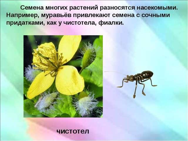Семена многих растений разносятся насекомыми. Например, муравьёв привлекают...