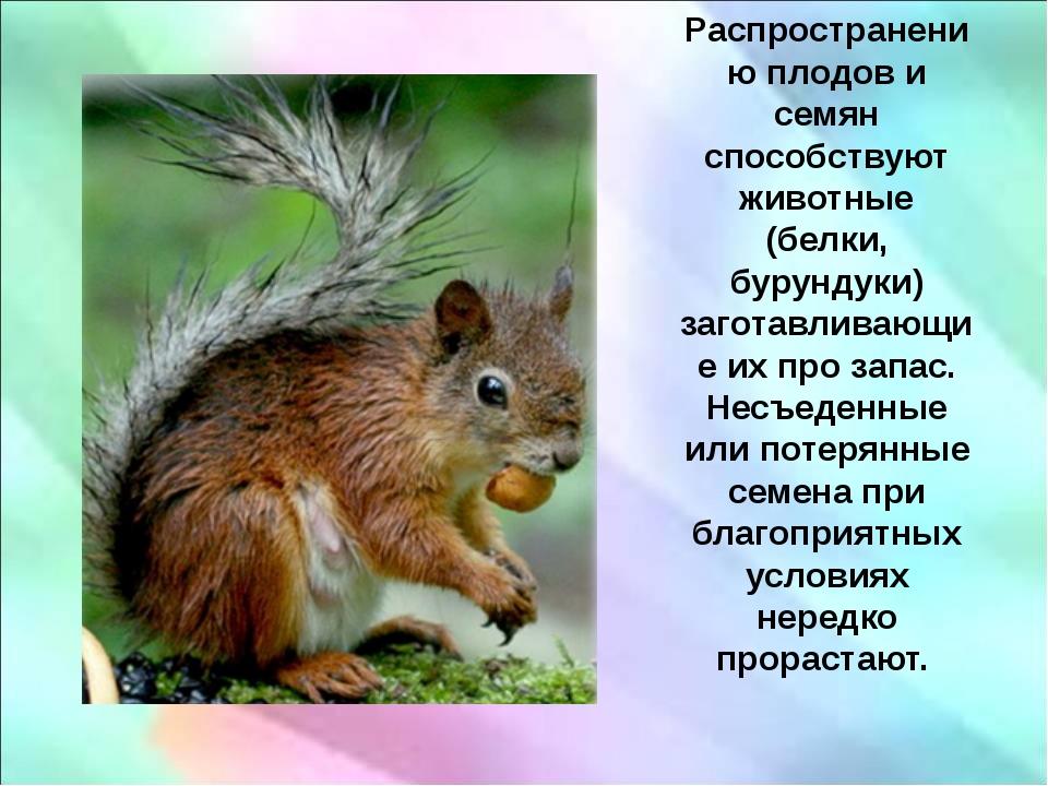 Распространению плодов и семян способствуют животные (белки, бурундуки) заго...