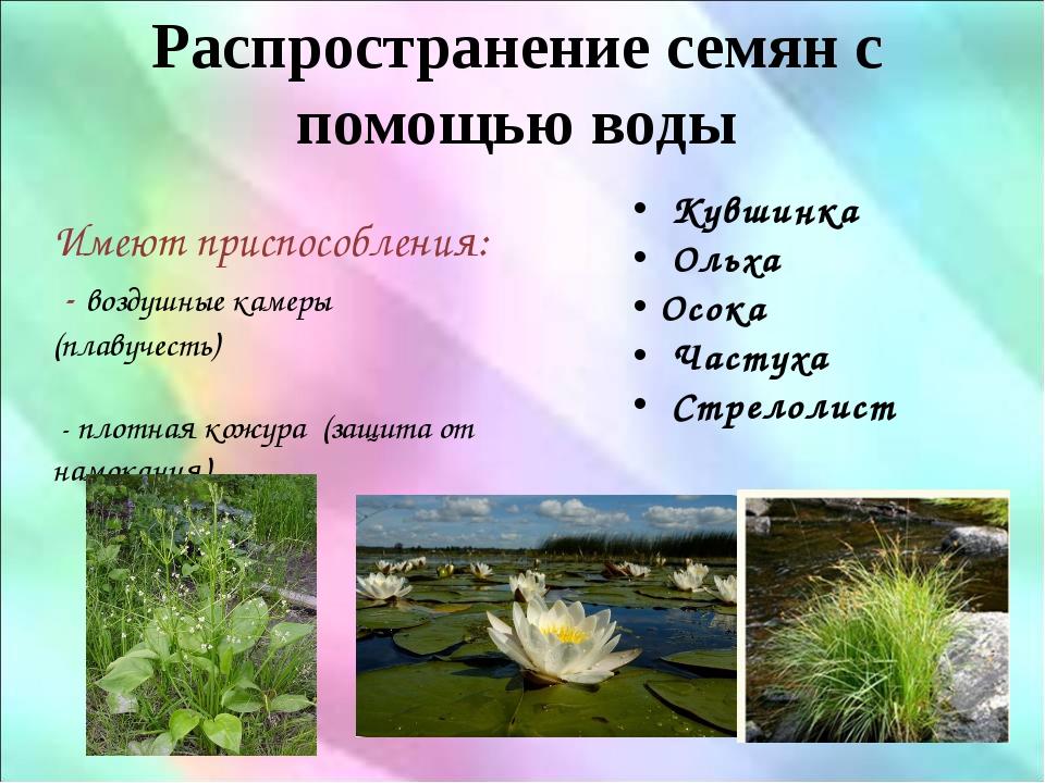 Распространение семян с помощью воды Имеют приспособления: - воздушные камеры...