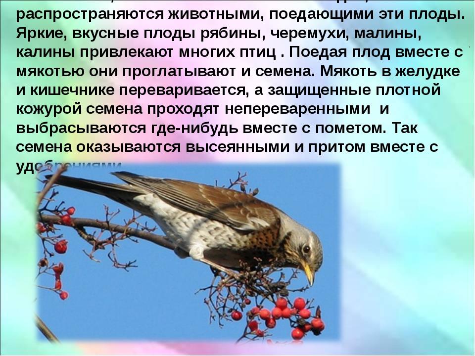 . Семена, заключенные в сочных плодах, распространяются животными, поедающим...
