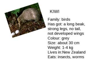 KIWI Family: birds Has got: a long beak, strong legs, no tail, not developed