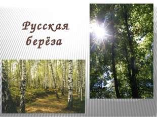 Русская берёза
