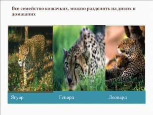 Ягуар Гепард Леопард