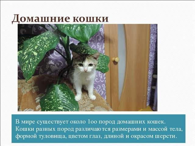 В мире существует около 1оо пород домашних кошек. Кошки разных пород различаю...