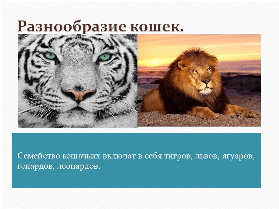 Семейство кошачьих включат в себя тигров, львов, ягуаров, гепардов, леопардов.