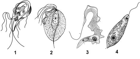 жгутиконосцы