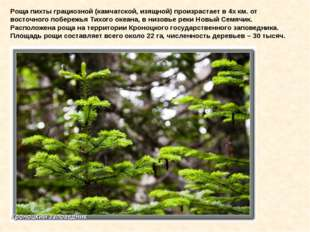 Роща пихты грациозной (камчатской, изящной) произрастает в 4х км. от восточно
