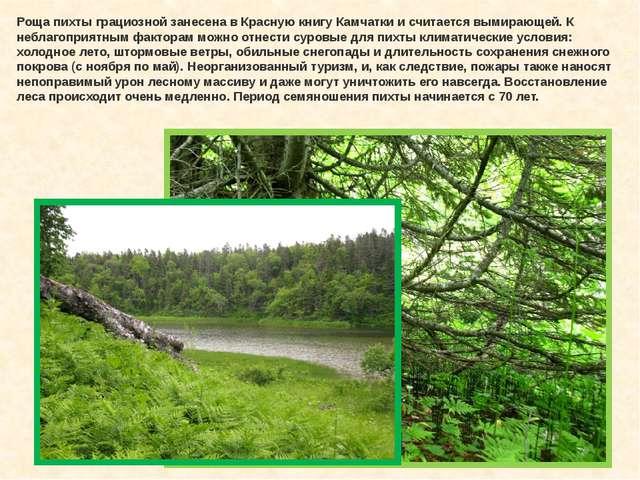 Роща пихты грациозной занесена в Красную книгу Камчатки и считается вымирающе...