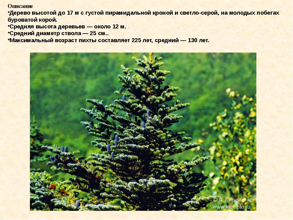 Описание Дерево высотой до 17м с густой пирамидальной кроной и светло-серой,...