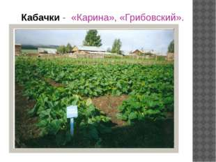 Кабачки - «Карина», «Грибовский».