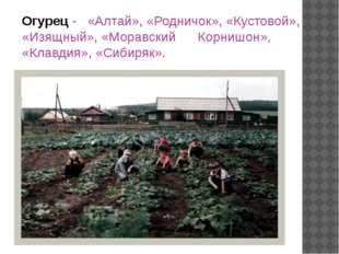 Огурец - «Алтай», «Родничок», «Кустовой», «Изящный», «Моравский Корнишон», «К