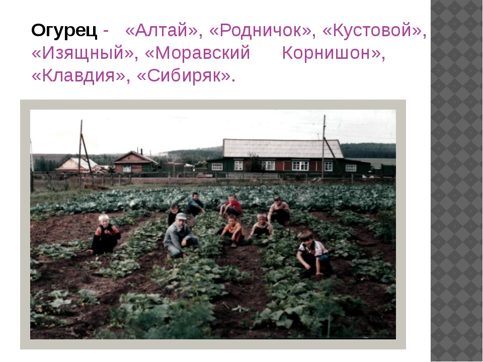 Огурец - «Алтай», «Родничок», «Кустовой», «Изящный», «Моравский Корнишон», «К...