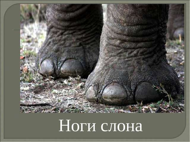 Ноги слона