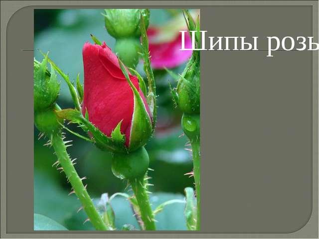 Шипы розы