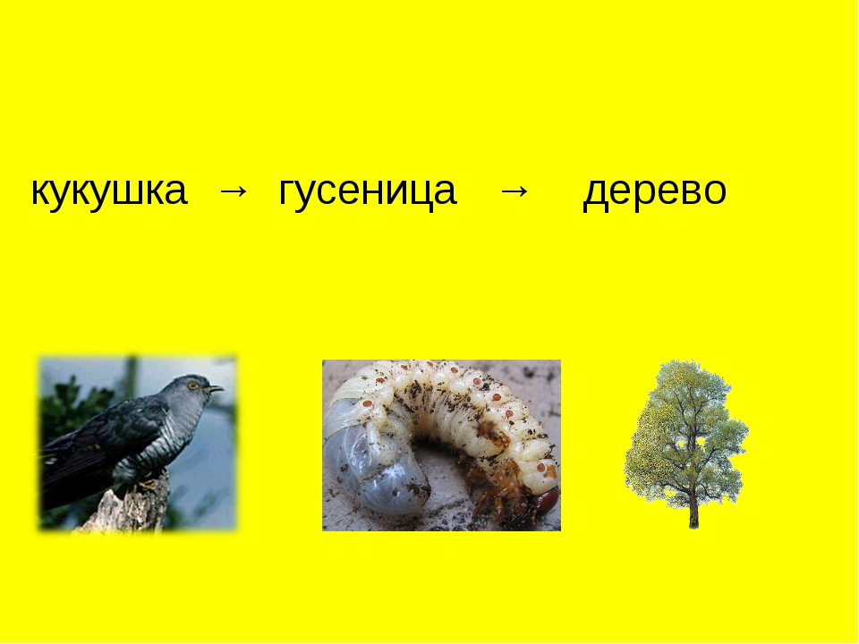 кукушка → гусеница → дерево