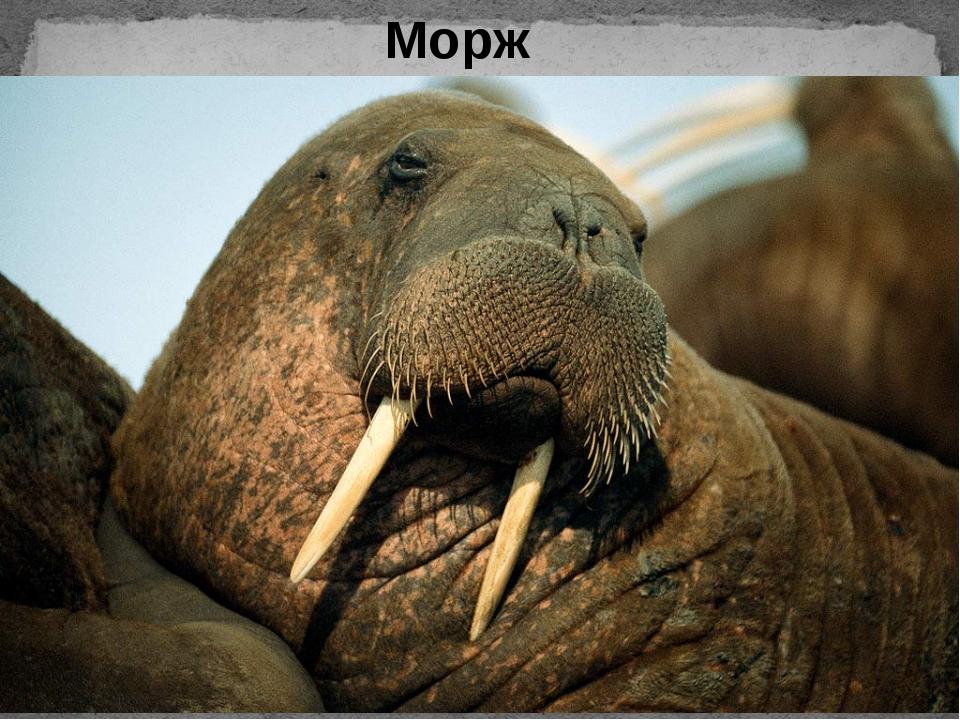 Фото моржа на аву
