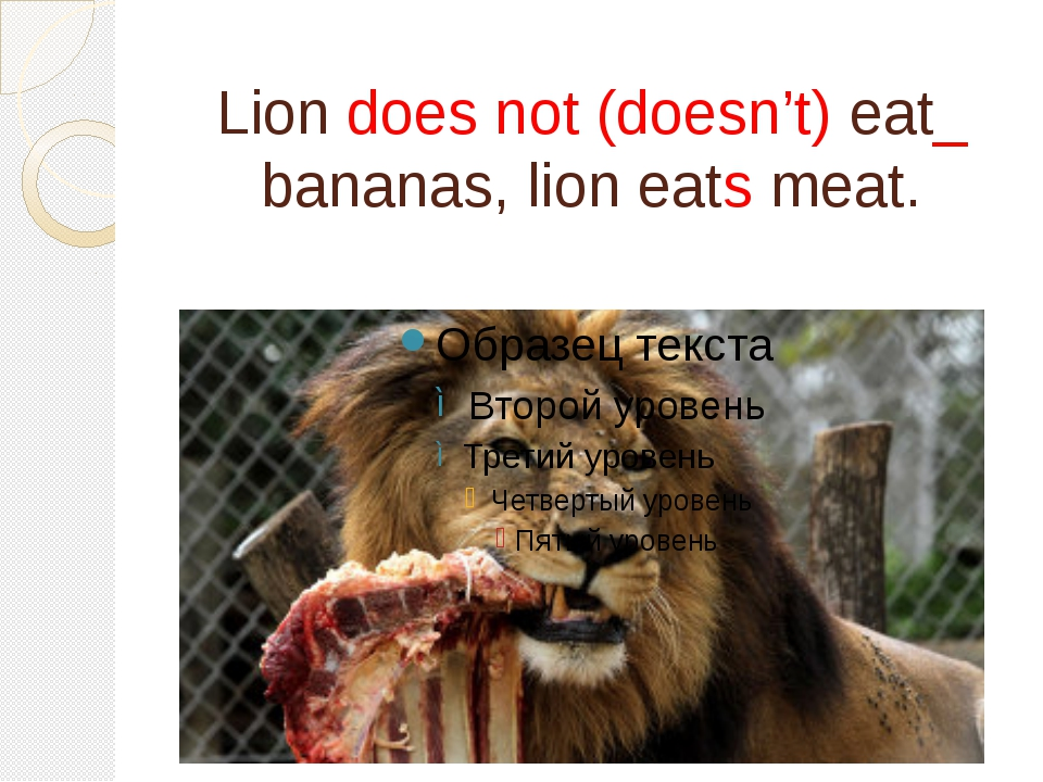 Lion does not (doesn't) eat_ bananas, lion eats meat.