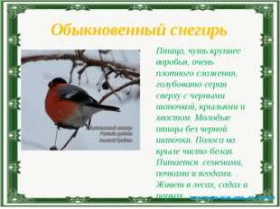 Обыкновенный снегирь Птица, чуть крупнее воробья, очень плотного сложения, го