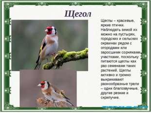 Щегол Щеглы – красивые, яркие птички. Наблюдать зимой их можно на пустырях, г