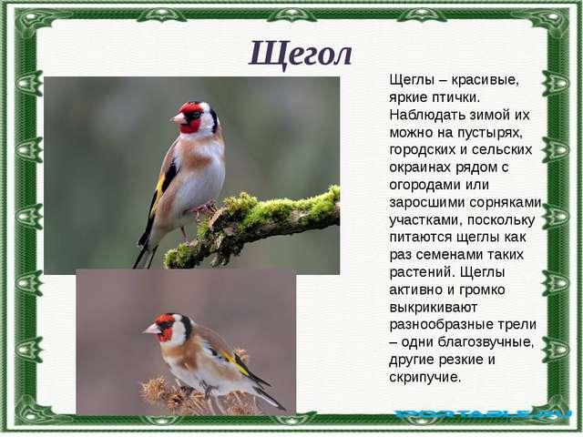 Щегол Щеглы – красивые, яркие птички. Наблюдать зимой их можно на пустырях, г...