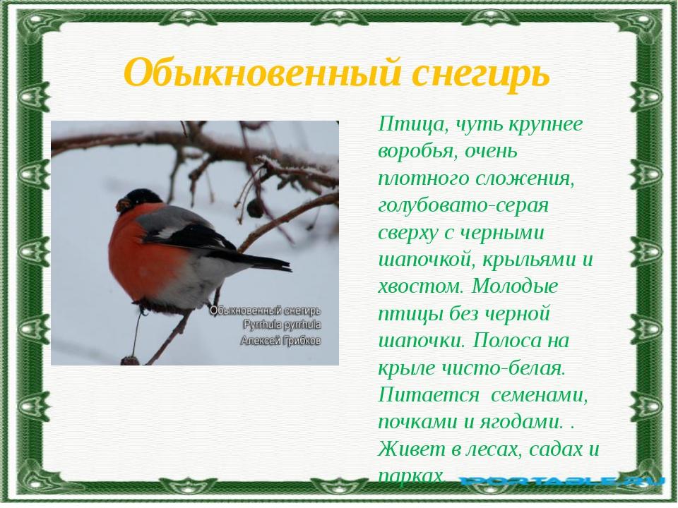 Обыкновенный снегирь Птица, чуть крупнее воробья, очень плотного сложения, го...