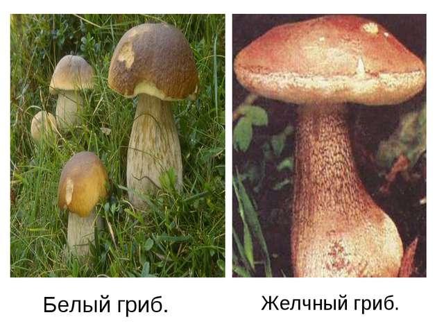 Белый гриб. Желчный гриб.