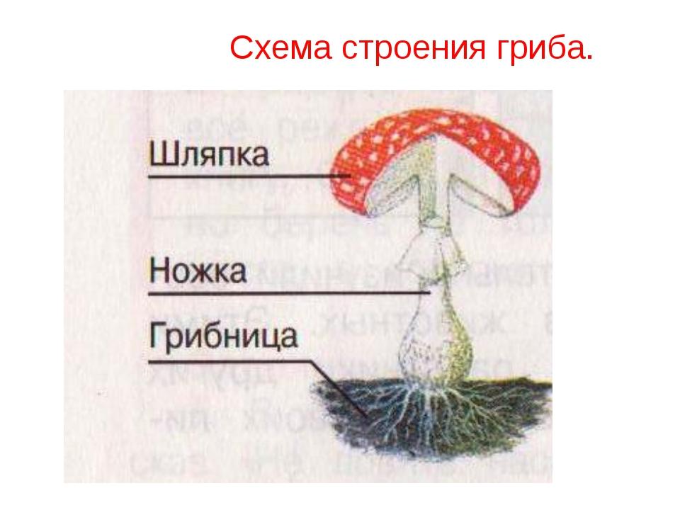 Схема строения гриба.