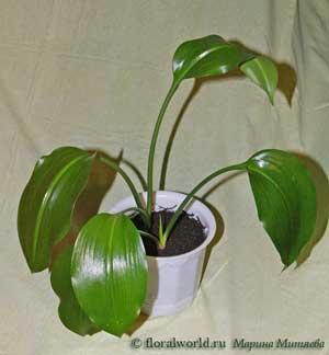 лилия амазонская1