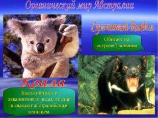 Коала обитает в эвкалиптовых лесах, её ещё называют австралийским ленивцем. О