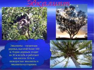 Эвкалипты – гигантские деревья, высотой более 100 м. Корни деревьев уходят на