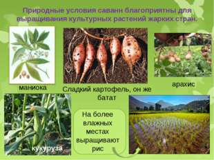 Природные условия саванн благоприятны для выращивания культурных растений жар