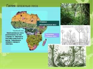 Гилея- влажные леса